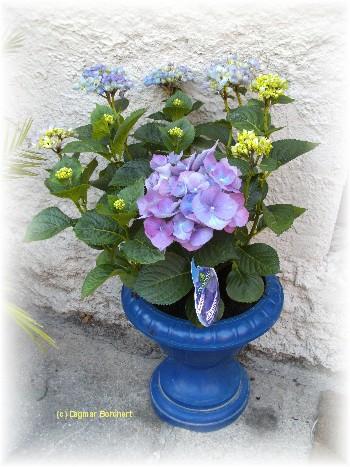 mein kleiner schoener garten blaue hortensie blue heaven auch hydrangea genannt. Black Bedroom Furniture Sets. Home Design Ideas