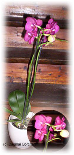 mein kleiner schoener garten orchideen. Black Bedroom Furniture Sets. Home Design Ideas