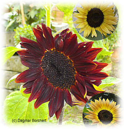 mein kleiner schoener garten sonnenblumen als schnittblumen haltbar machen. Black Bedroom Furniture Sets. Home Design Ideas